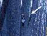 still from ivory-billed woodpecker video